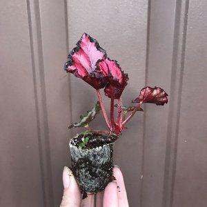 Begonia - Harmony's Red Ribon - Starter Plant